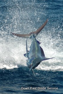sailfish and marlin in Costa Rica